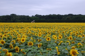 Field_of_sunflowers
